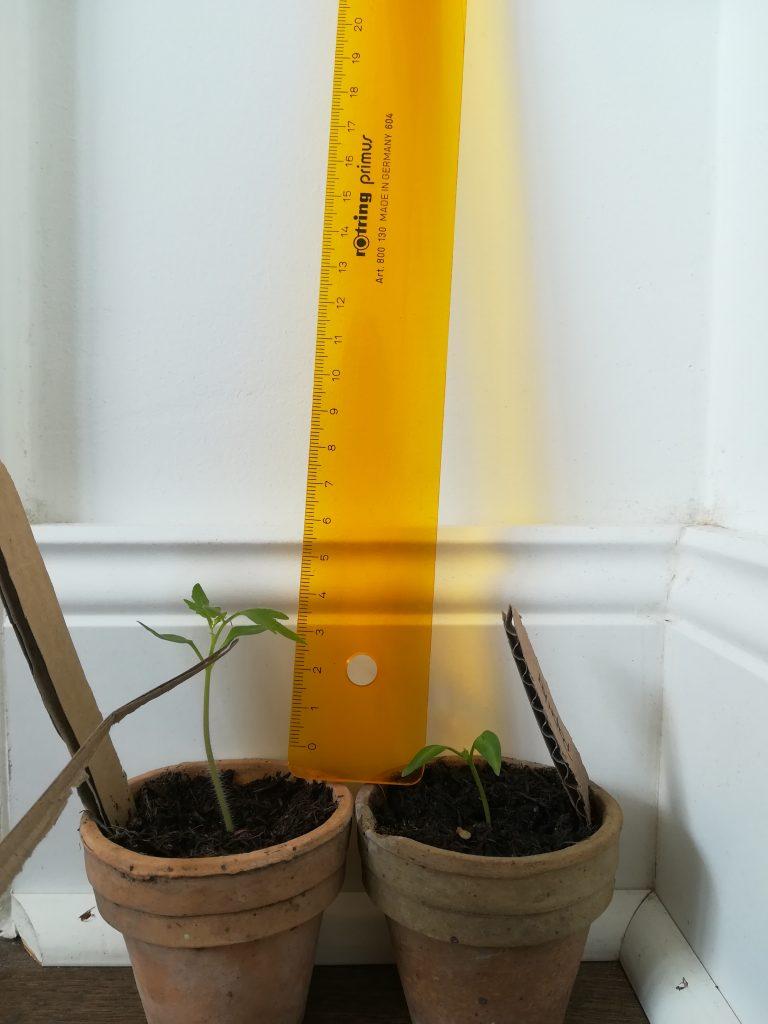 tomate paprika wachstum
